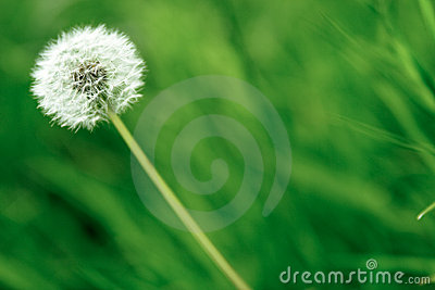 Single dandelion flower
