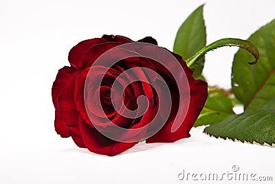 Single dark red rose flower