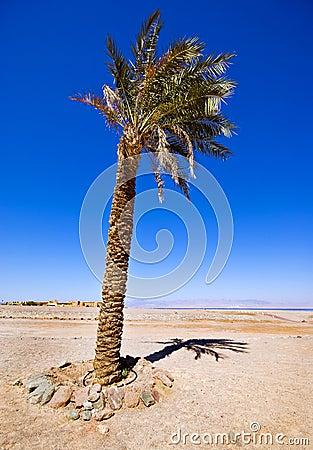 Single Date Palm