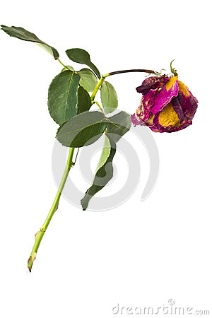 Single dried rose flower