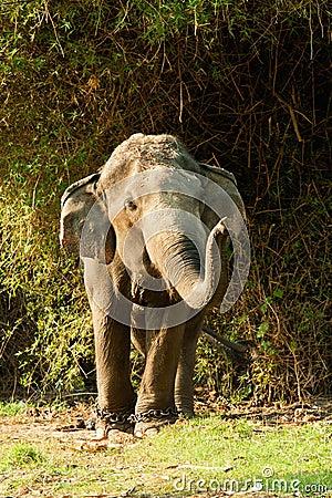 Single elephant