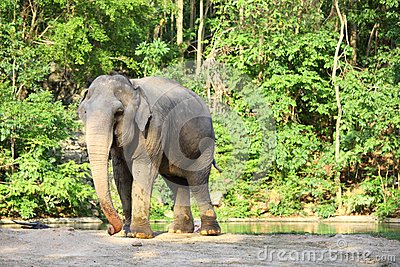 Single elephant standing with forest background.