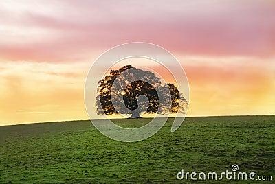 Single Fig Tree Alone in field