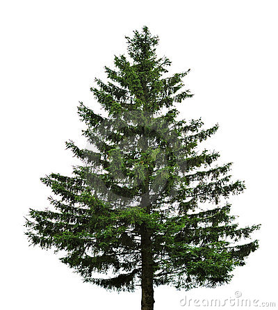 Single fir tree