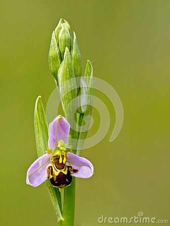 Single flower of Bee orchid