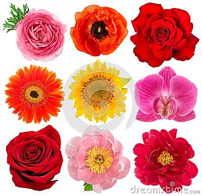 Free Single Flower Heads. Rose, Orchid, Peony, Sunflower, Gerber Stock Image - 65426881