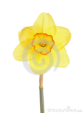 Free Single Flower Of A Daffodil Cultivar Against A White Background Stock Images - 37177824