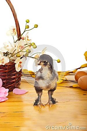 Single fluffy chick