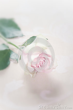 Single fragile faded pink rose
