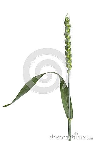 Single fresh organic wheat stalk