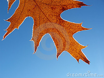 Single frosty leaf