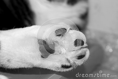 Single Furry White Cat Paw