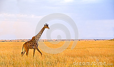 Single Giraffe walking in the Serengeti