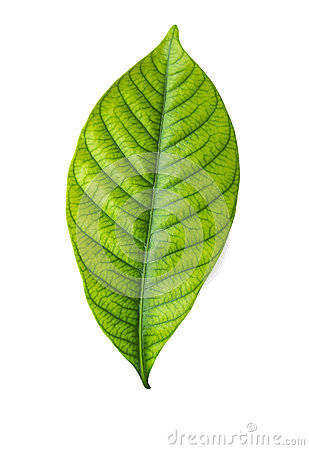 Single green leaf on white
