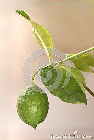 Single green lemon grows on brunch