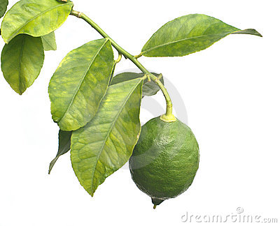 Single green lemon grows on citrus branch