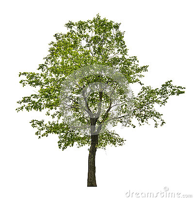 Free Single Green Linden Tree Isolated On White Stock Images - 35174634