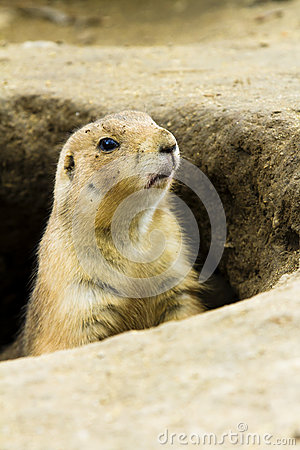 Single ground hog peaking out of his hole