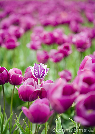 Single hybrid tulip within field of purple flowers