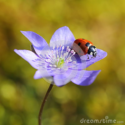 Single Ladybug on violet flower in springtime