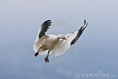 Single Landing Snow Goose