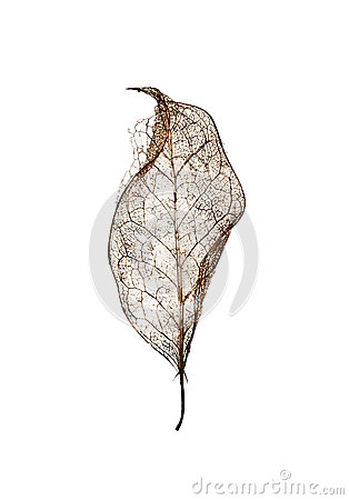 Free Single Leaf Skeleton With No Background Royalty Free Stock Images - 75688679