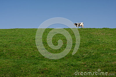 Single lone milk cow