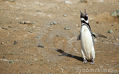 Single Magellanic Penguin crying