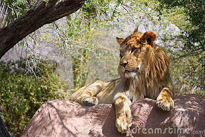 Single Male Lion On Large Rock