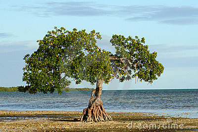 Single Mangrove on the Shoreline of the Florida Ke