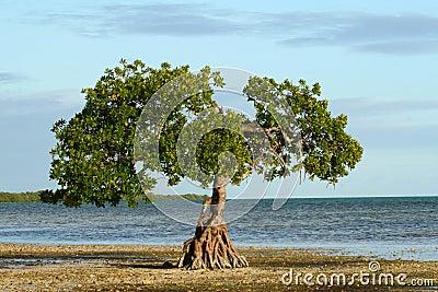 Single Mangrove on the Shoreline of the Florida Ke