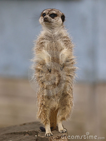 Free Single Meercat Royalty Free Stock Image - 23012636