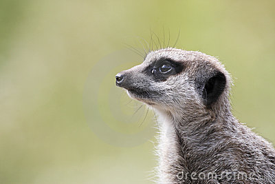 Single meerkat looking out