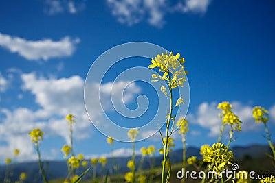 Single Mustard Stem