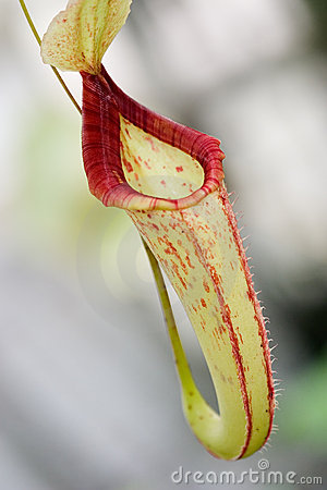Single Nepenthes sp. flower