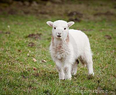 Single new born lamb