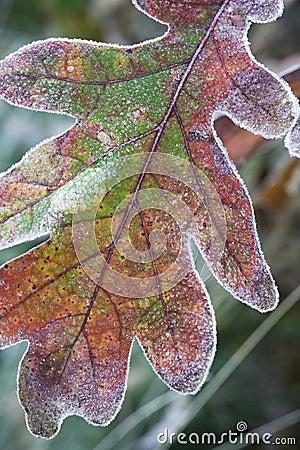 Single oak leaf.