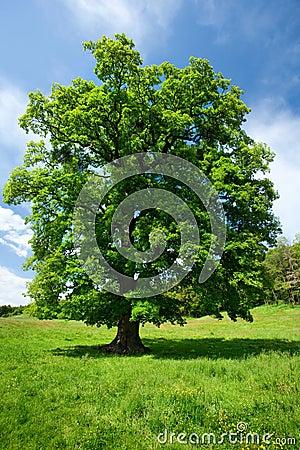 Single oak tree
