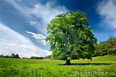 Single oak tree