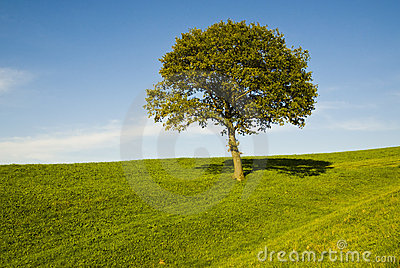 Single oak tree in field