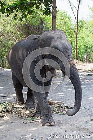 Free Single Old Female Asiatic Elephant Walk Royalty Free Stock Image - 78901166