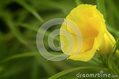 Single Oleander
