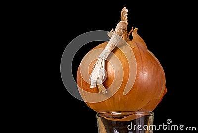 Single Onion on a glass