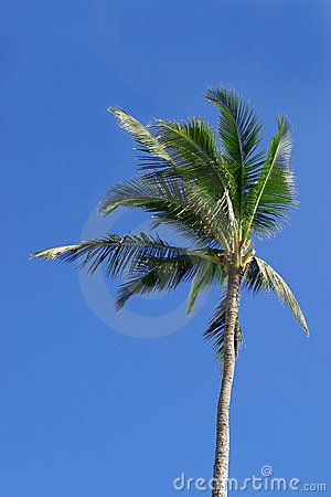 Free Single Palm Tree Royalty Free Stock Photography - 228507