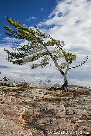 Free Single Pine On The Rocks Stock Photography - 60460802