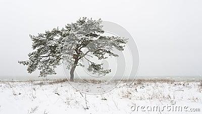 Single pine tree at winter