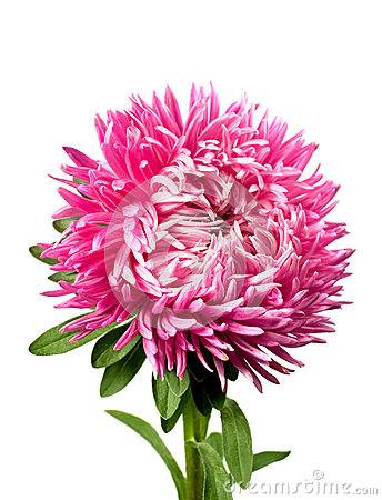 Single pink aster