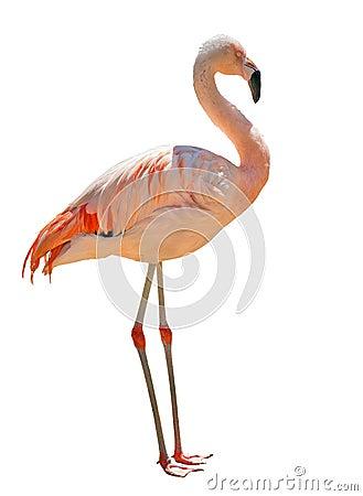 Free Single Pink Flamingo Isolated On White Stock Images - 33122074