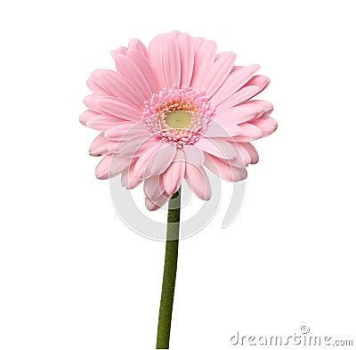 Free Single Pink Gerbera Royalty Free Stock Image - 22960496