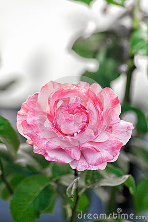 Free Single Pink Rose In A Garden Stock Photo - 57101650